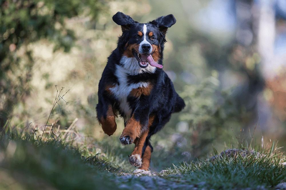 raza perro suizo
